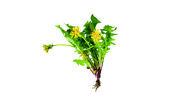 Dandelion - Where to look: Sunny lawns. How to prepare: Use leaves in salads, or add to stews and soups. Pan-fry the flowers in batter.