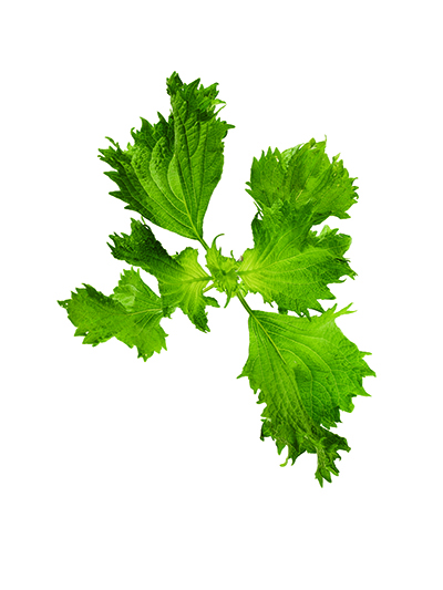 Shiso - Where to look: Hay fields, pastures, along fences or roadsides. How to prepare: Add shiso, part of the mint family, to fruit, green salads, stir-fries, and tea.