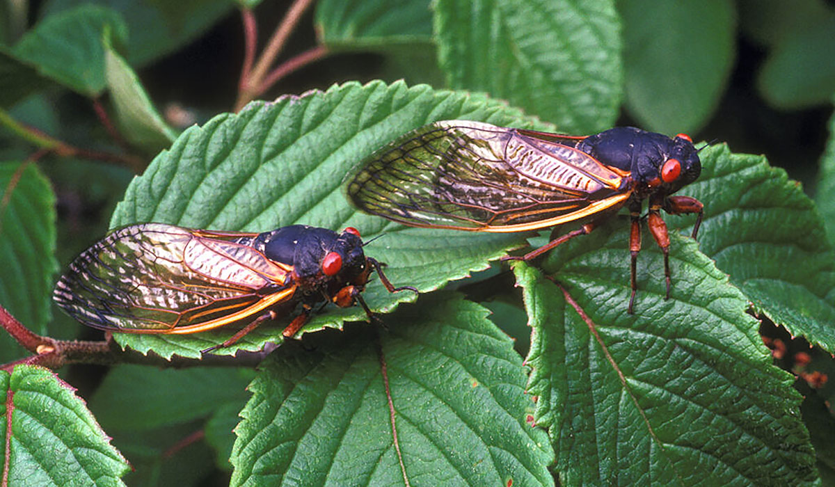 U M Biologist Eager For Arrival Of Brood X Cicadas The Sixth Emergence Of These Noisy 17 Year Bugs In His Lifetime Cicada 1024x691